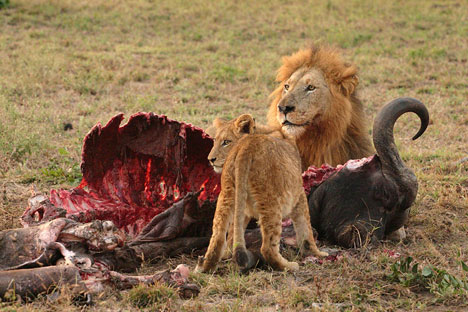 lions with prey