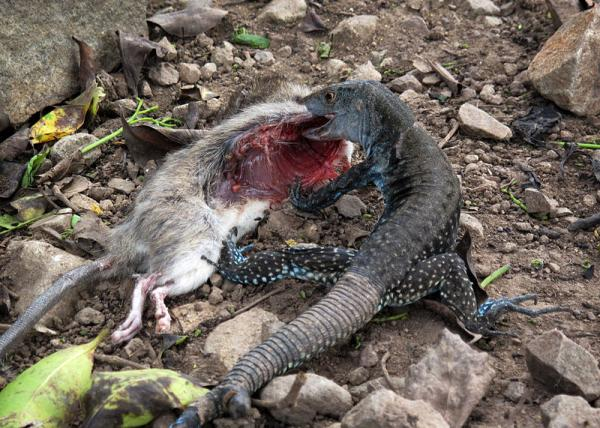 lizard with mouse prey