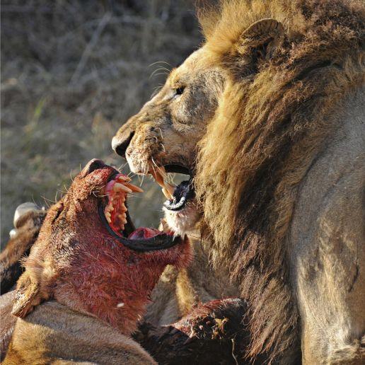 natlgeo_lions