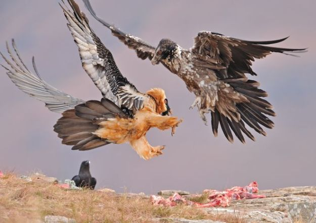 natlgeo_vultures