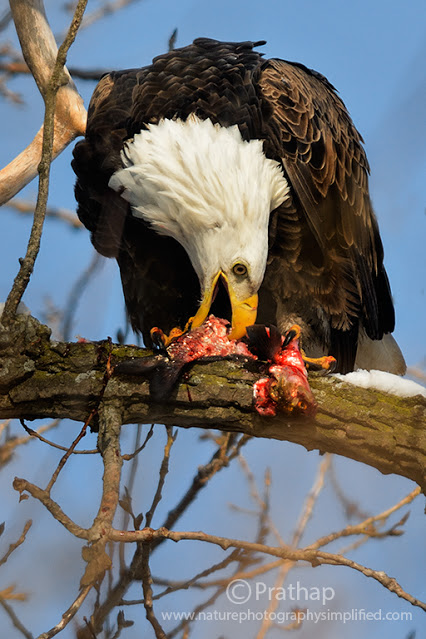 Nature-Photography-Simplified-Birds-American-Bald-Eagle-Having-Feast