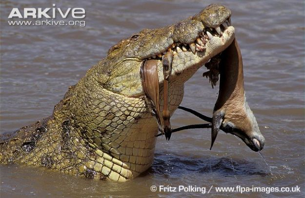Nile-crocodile-with-gazelle-in-mouth