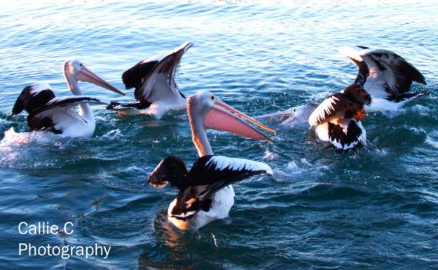 pelicans-catching-fish_2352