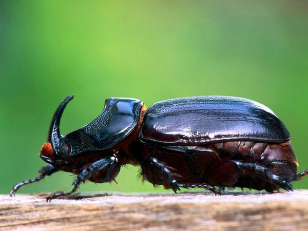 rhinoceros-beetle_5819_600x450