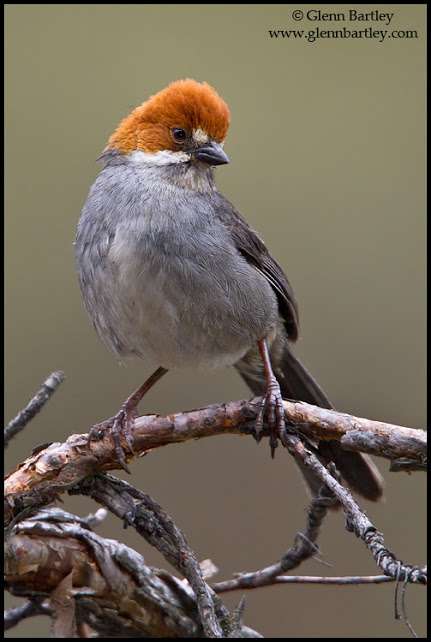 Rufous-eared Brush Finch (Atlapetes rufigenis) perched on a branch in Peru.