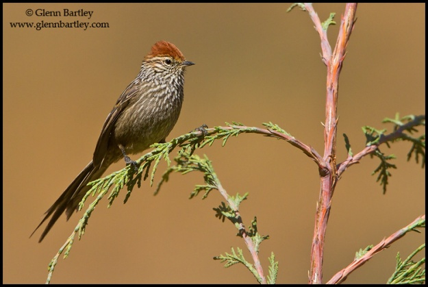 Rusty-crowned Tit Spinetail - 01