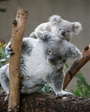 s-Koala-care