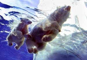 s-Polar-bear-cub-learning-to-swim
