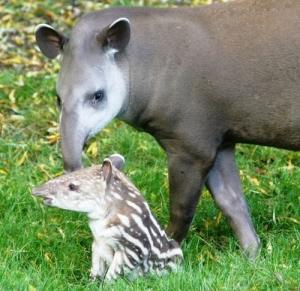 s-Tiny-tapir