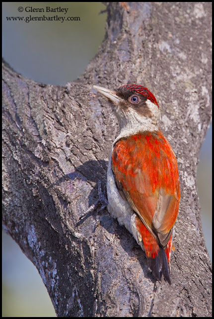 Scarlet-backed Woodpecker (Veniliornis callonotus) perched on a branch in Peru.