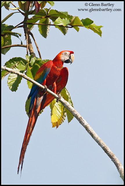 Scarlet Macaw (Ara macao) perched on a branch in Ecuador.