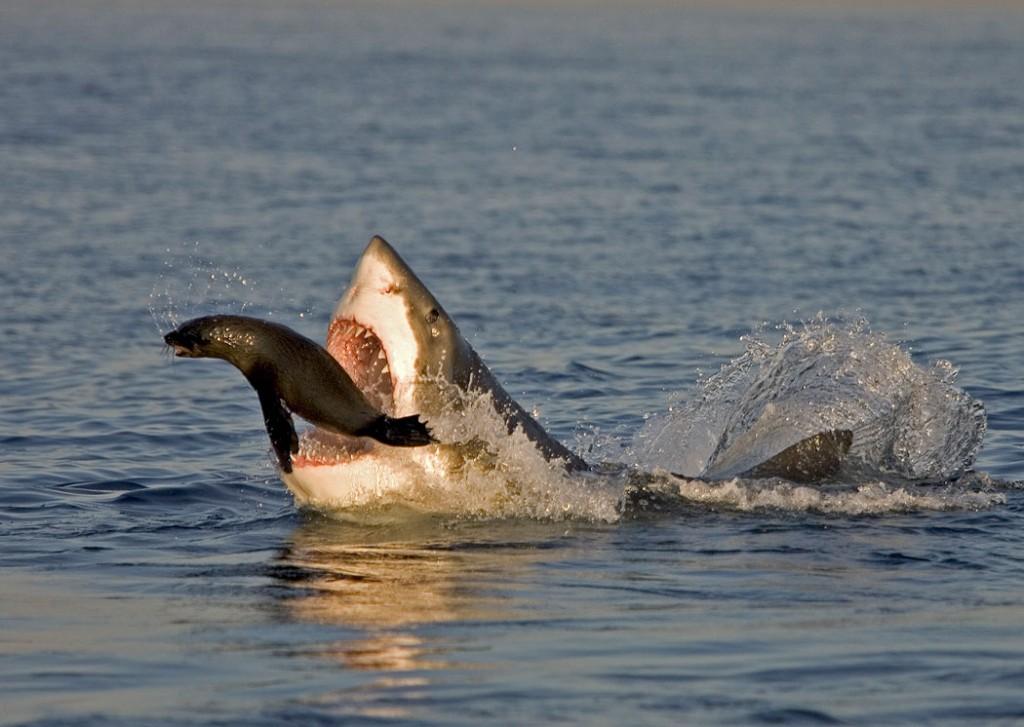 shark with seal prey