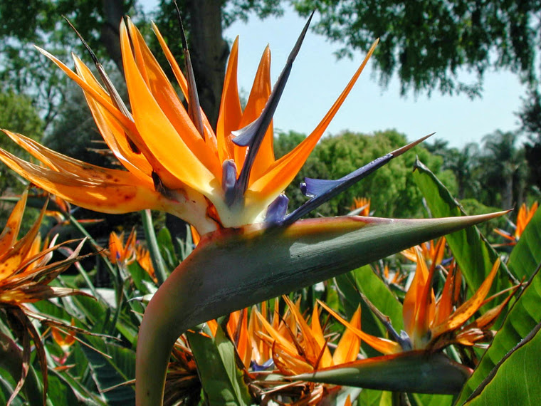 Strelitzia reginae (Bird of Paradise)3