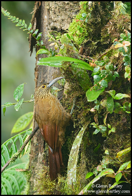 Strong-billed Woodcreeper - 01