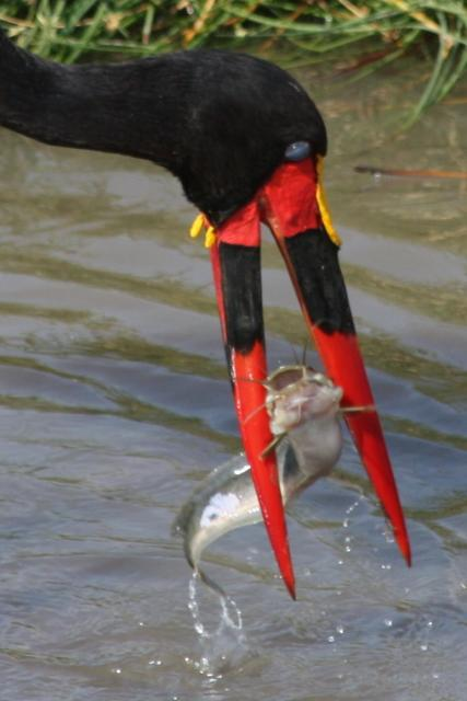 tanzania fishinbeak with fish prey