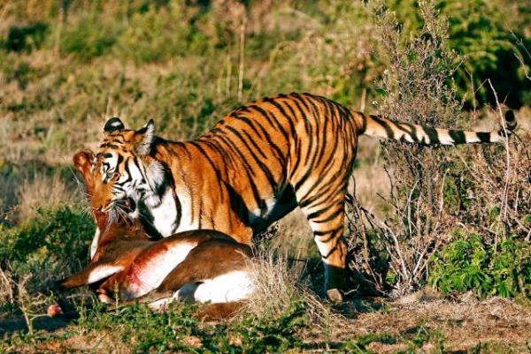 tiger with prey