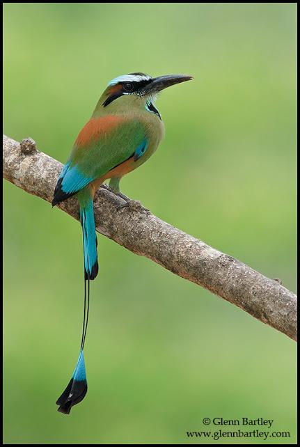Turquoise-browed Motmot - 03