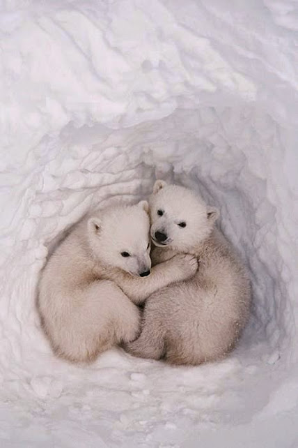 Twin polar bear cubs in a snow den.