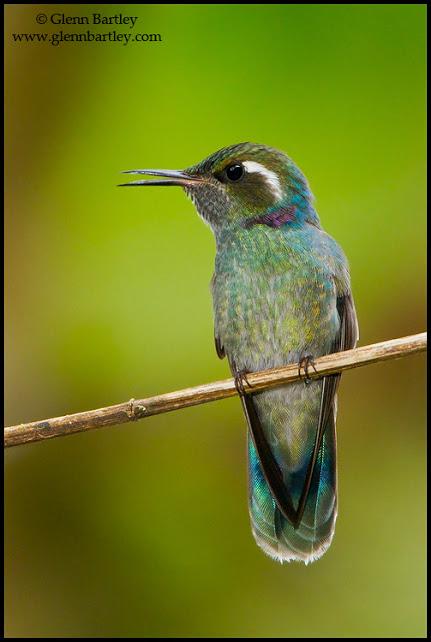 Wedge-billed Hummingbird (Augastes geoffroyi) perched on a branch in Peru.