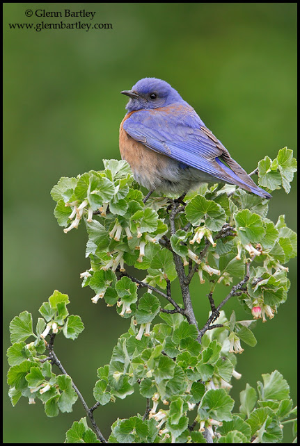 Western Bluebird - 10