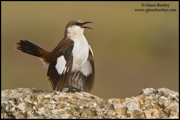 White-bellied Cinclodes (Cinclodes palliatus) perched on a rock in Peru.