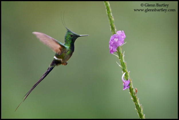 Wire-crested Thorntail - 01
