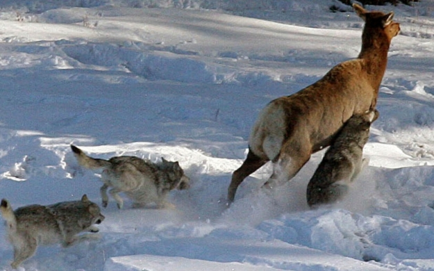wolves attaching deer