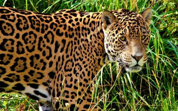 Ягуар - jaguar (goo.gl/UV83SU)