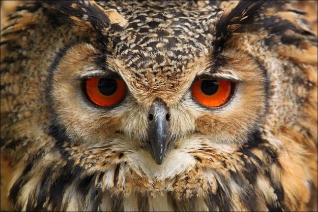 Indian Eagle-Owl. by Evey-Eyes   http://goo.gl/S0EOi2