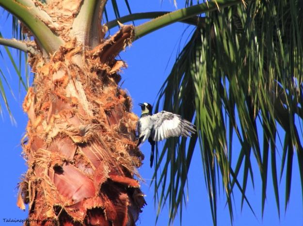acorn-woodpecker-040