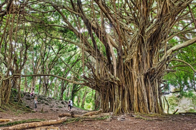 ancient-banyan-big-island-hawaii-james-brandon