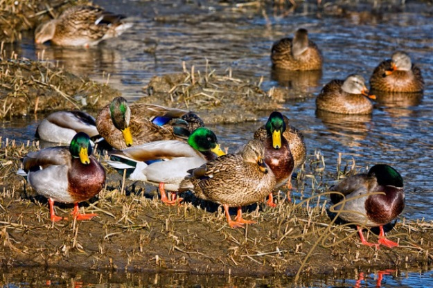Mixed Company. An American Black Duck Drake Among A Group Of Mal