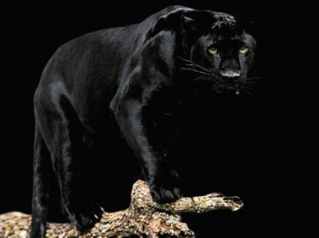 Черная пантера - The Black Panther   photo source (goo.gl/2jeDxm)