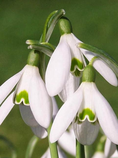 Galanthus nivalis4