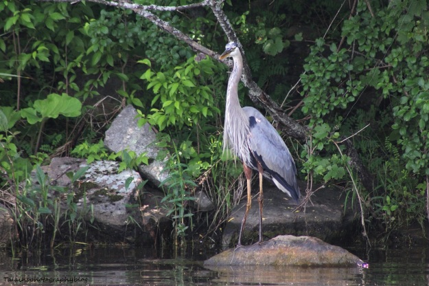 great-blue-heron-004
