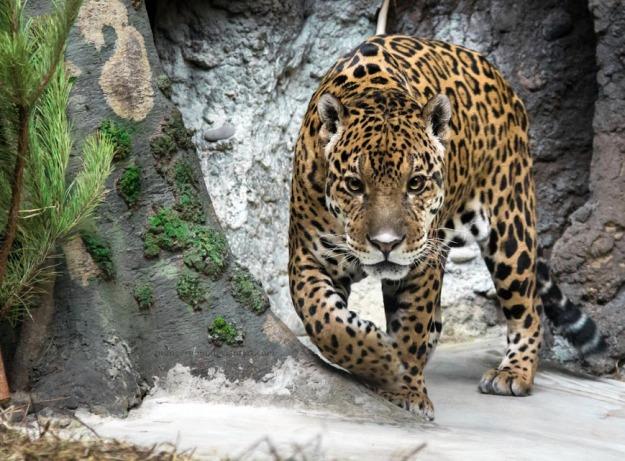 Король джунглей  - King of Jungles by OrangeRoom (goo.gl/5YoXYg)