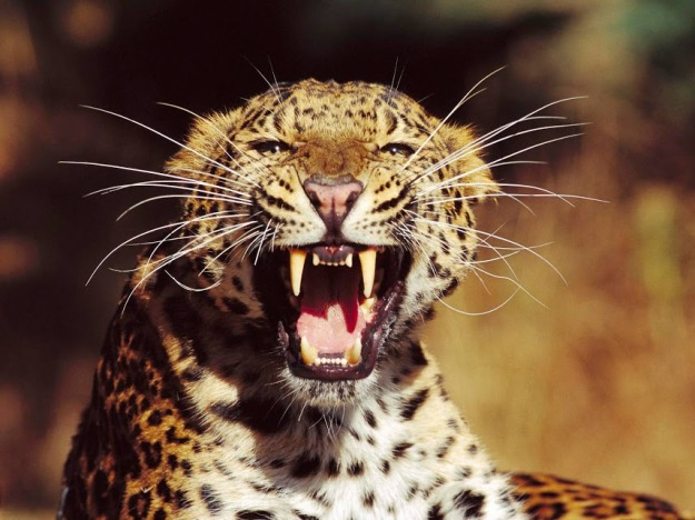 Леопард - Leopard    http://goo.gl/7RsyFk