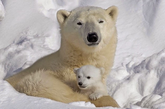 Mommy-and-Cub-polar-bears-12265191-900-600