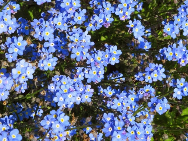 Myosotis sylvatica - Wood Forget-Me-Not4
