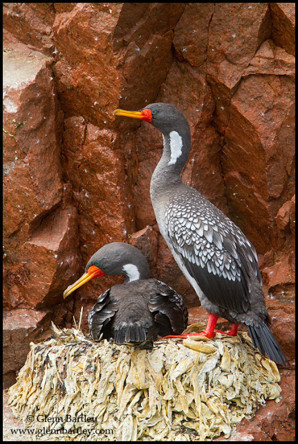 Red-legged Cormorant (Phalacrocorax gaimardi) perched on a rock in Peru.