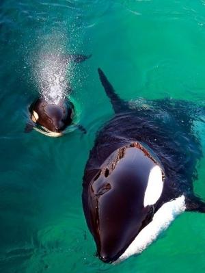 s-Baby-orca