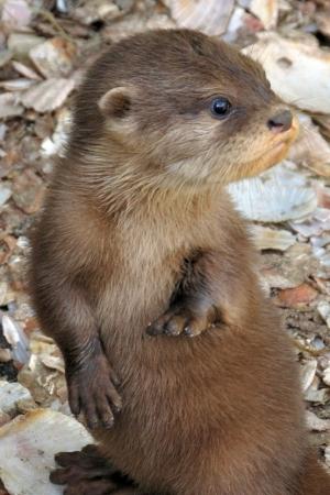 s-Otter-pup-cuteness
