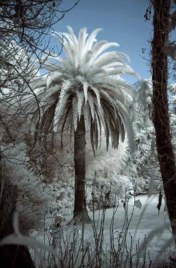 Snow on palm tree.. !!