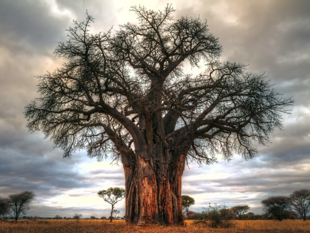 Baobab tree in Tarangire National Park, Tanzania.