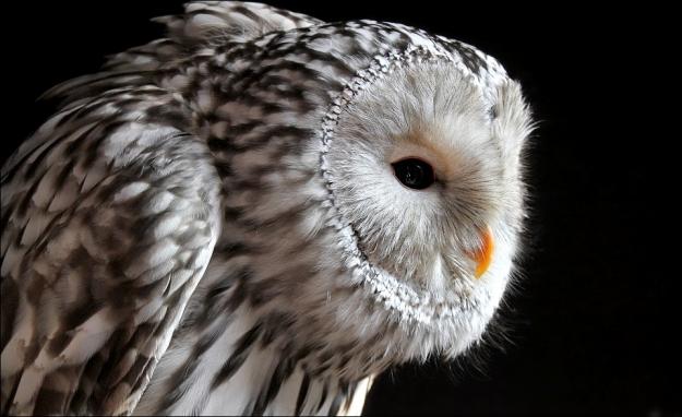 Ural owl. by Evey-Eyes   http://goo.gl/jC4VaO