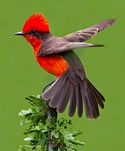 Vermillion Flycatcher, found in southwest U.S., Central and South America, and the Galapagos Islands