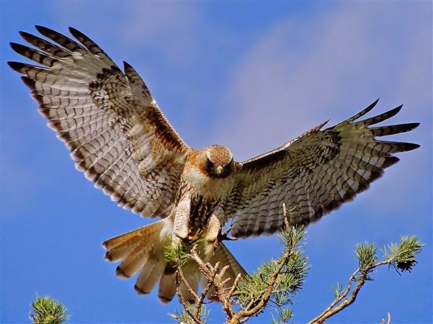 1aB-Red-tailed Hawk