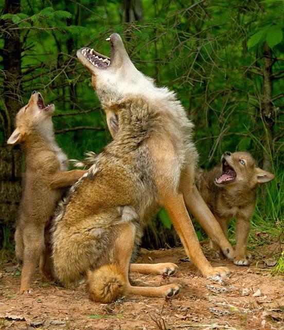 1N-coyote