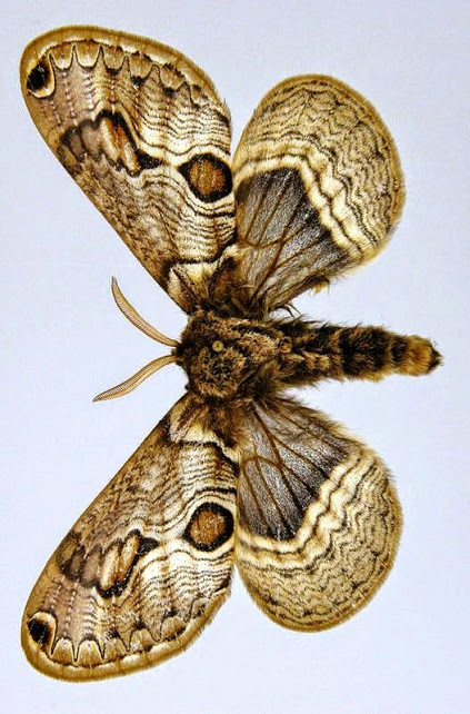 800px-Acanthobrahmaea_europaea[1]