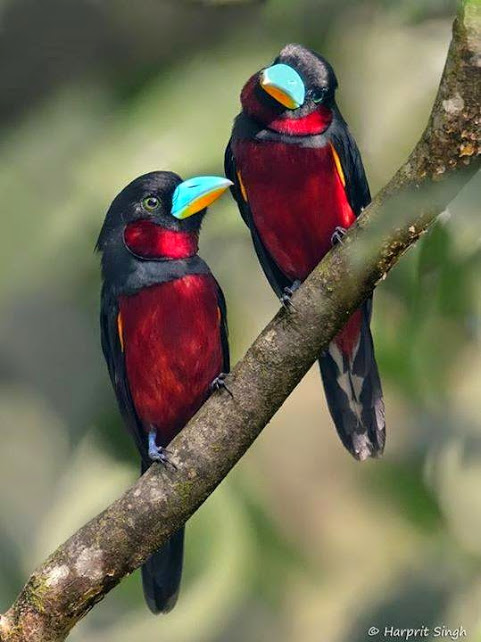 AAA-The Black and Red Broadbill, found in Brunei, Cambodia, Indonesia, Laos, Malaysia, Myanmar, Singapore, Thailand, and Vietnam 808_n